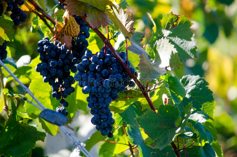 Purple grapes on a vine. Deep purple grapes hang from a vine in a local michigan winery stock photography