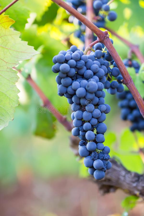 Purple grapes on vine primitivo, Apulia, Italy, vertical. Purple grapes on vine in garden stock photo