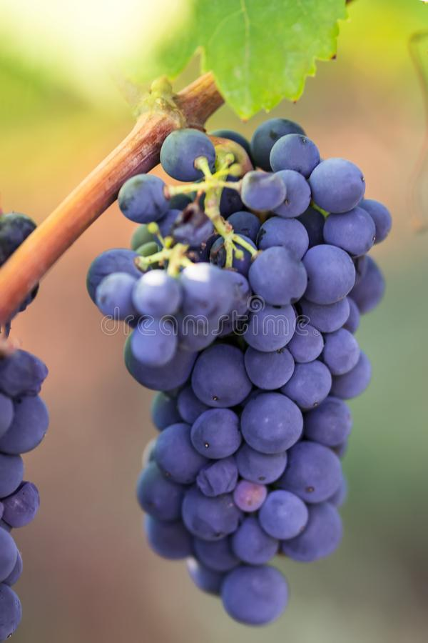 Purple grapes on vine primitivo of manduria, Apulia, Italy. Purple grapes on vine in garden, close-up stock photography