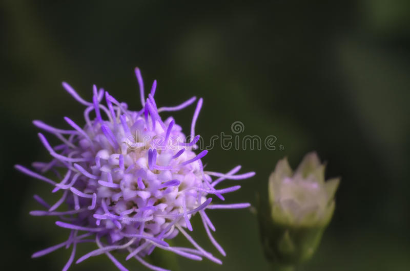 Purple grass flower blossoming in nature on high magnification stock photos