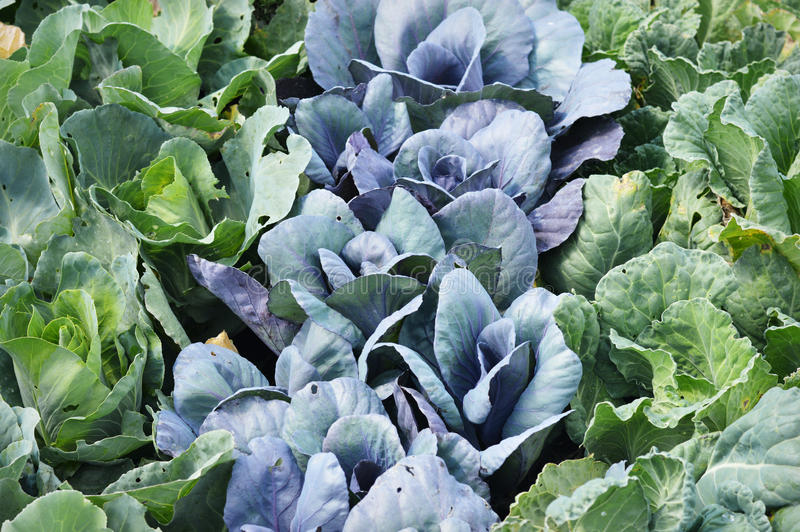 Purple and Green Cabbage royalty free stock images