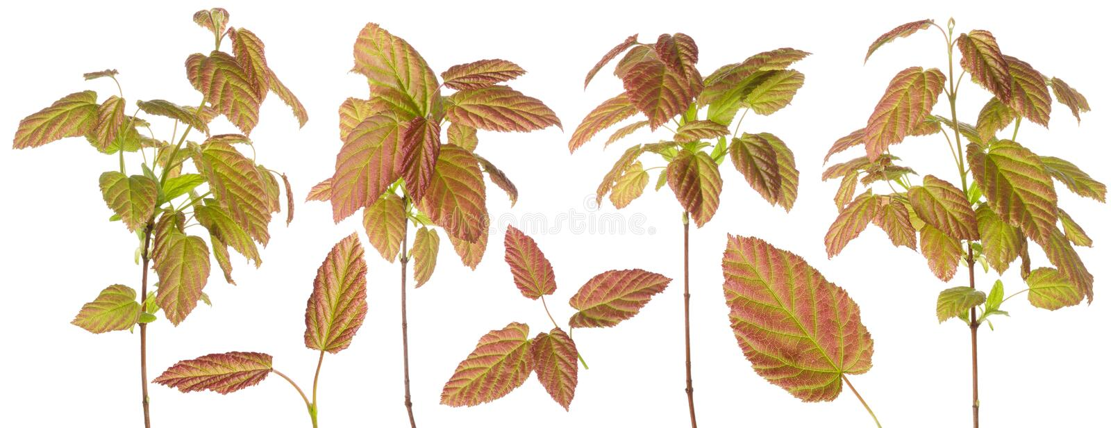 Purple green colored plant leaves on a branch or stem and a single leaf set for floral design isolated on white background royalty free stock photo