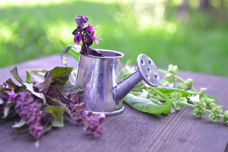 Purple and green fresh basil leaves and flowers, in a small iron watering can in a summer garden. Purple and green fresh basil leaves and flowers, in a small royalty free stock image