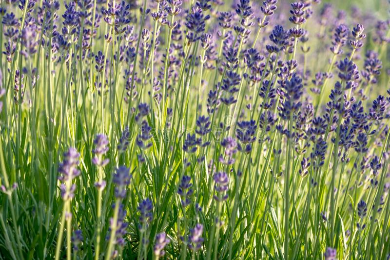 Lavender flowers in bloom. stock images