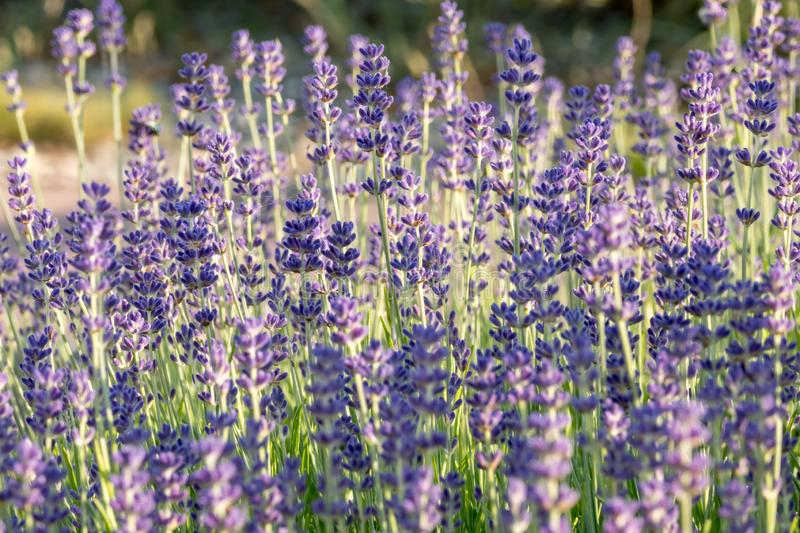 Lavender flowers in bloom. stock photos