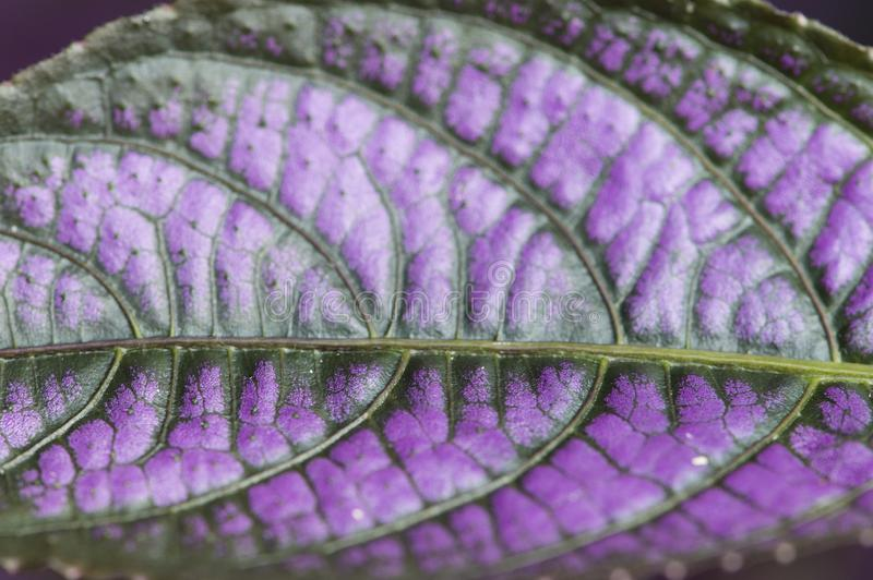 Purple and green leaf close-up macro texture royalty free stock image