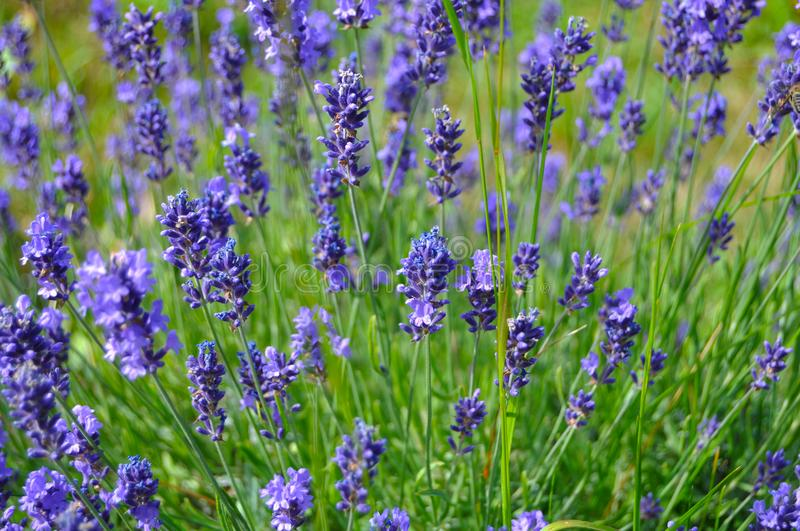 Purple and green levander on a field. Purple levander flower on a field. Field full of levander flower violet color stock photography