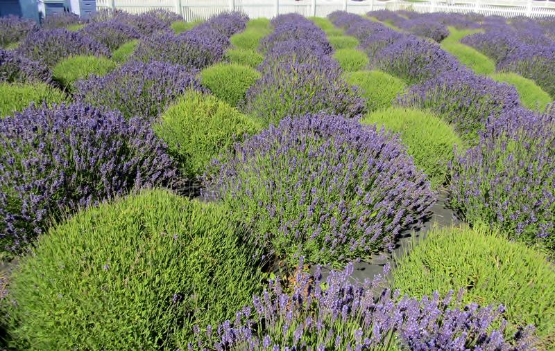 Purple and green shrubs at lavender farm stock photography