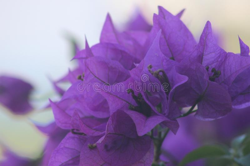 Purple Hawaiian Flowers royalty free stock photo