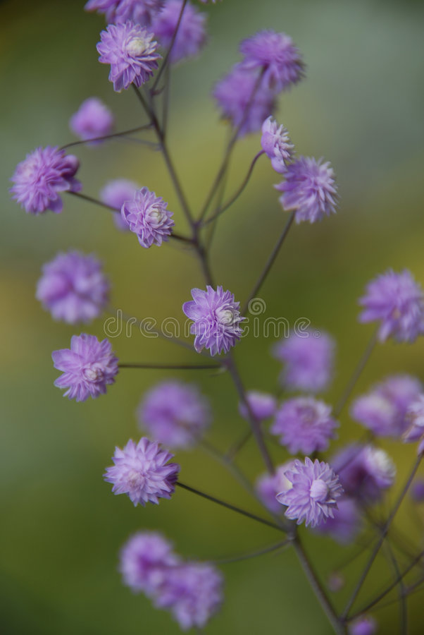 Download Purple haze stock photo. Image of flowers, delicate, summer - 3246192