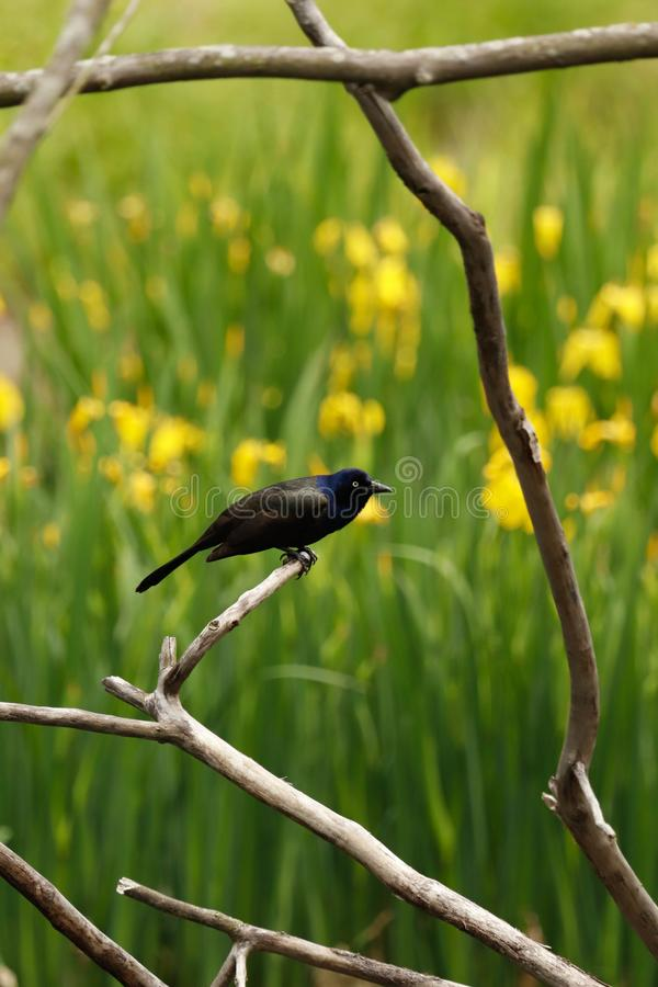 Grackle perched on a branch. royalty free stock image