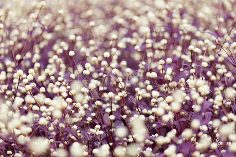 Purple heather. For background stock photo