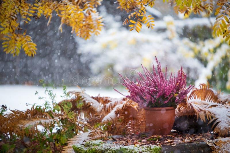 Purple heather in flower pot among under yellow rowan leaves, winter snowfall in the. Purple heather, Calluna vulgaris, in flower pot among withered ostrich fern stock image