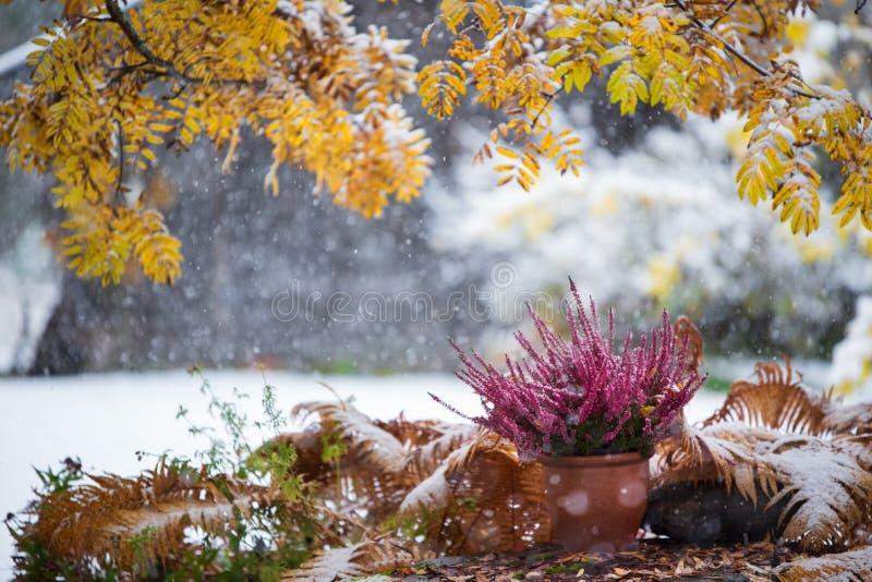 Purple heather in flower pot among under yellow rowan leaves, winter snowfall in the. Purple heather, Calluna vulgaris, in flower pot among withered ostrich fern stock images