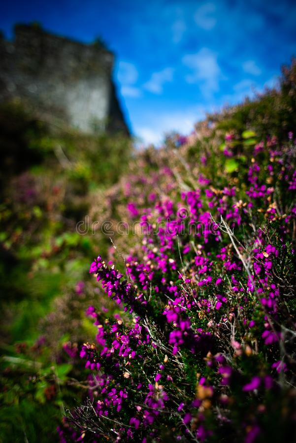 Purple Heather in Front of Tioram Castle, Loch Moidart, Lochaber, Highland, Scotland royalty free stock images