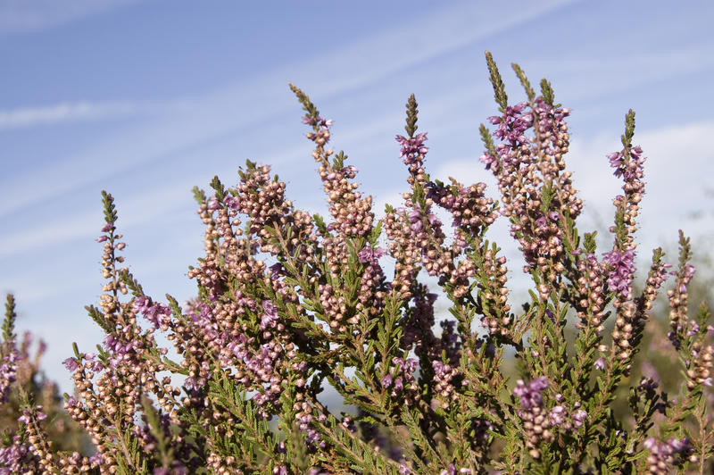 Purple heather on heathland royalty free stock photo