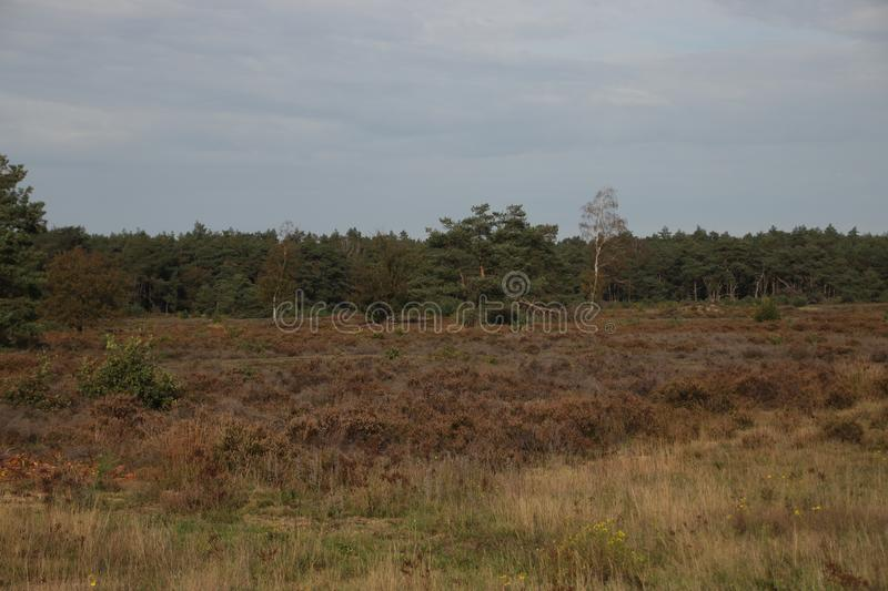 purple heather at moor at Wezeper Heide on the Veluwe in Gelderland, the Netherlands. royalty free stock photos