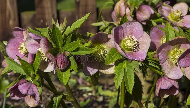 Purple Hellebore blossoms. A splash of purple-coloured Hellebore blooms aka Christmas Rose flowering in late Winter/Early Spring in the UK stock photo