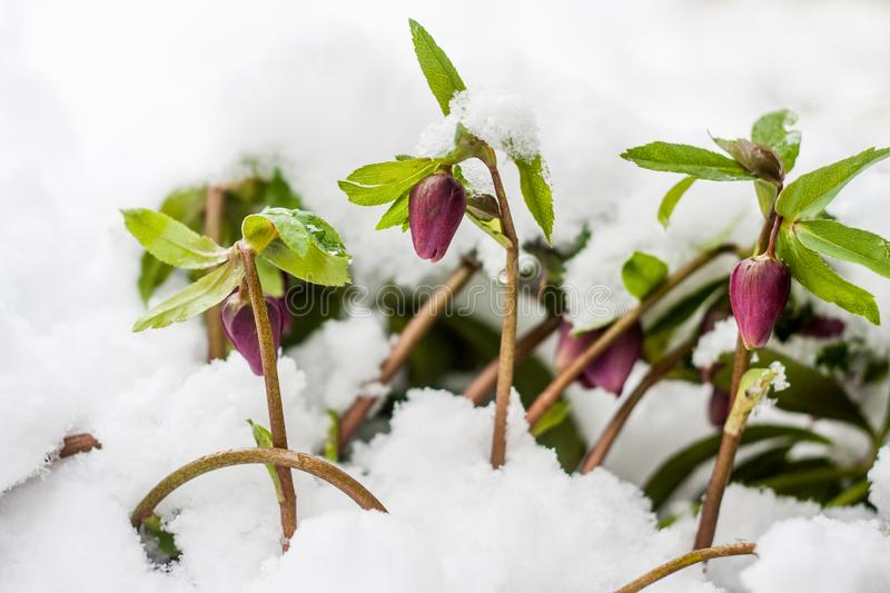 Hellebore flowers blooming in winter. Purple Helleborus starting to bloom in fresh snow on a cold winter`s day stock images