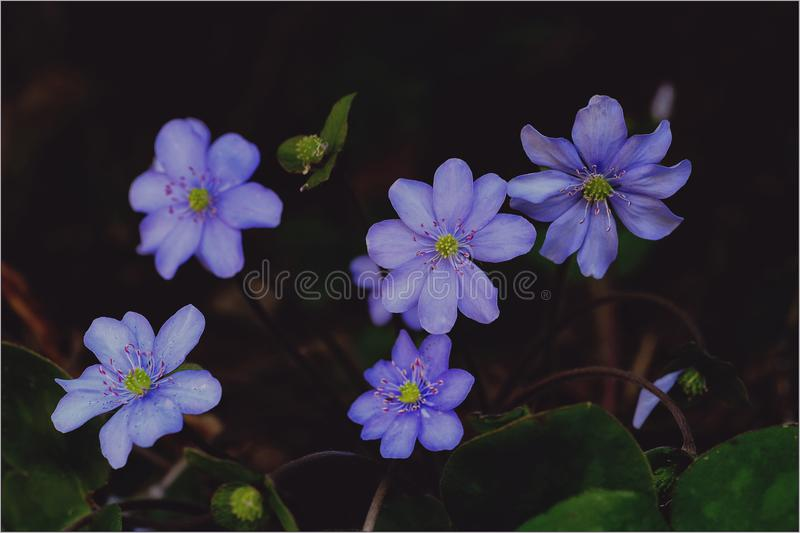 Purple Hepaticas in Bloom Close-up Photo stock image