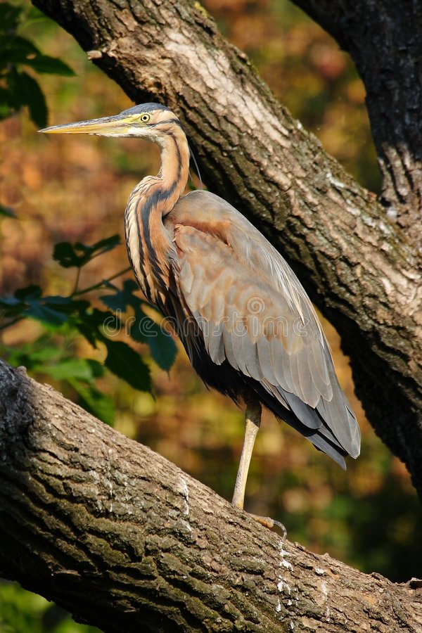 Free Purple Heron Stock Photo - 2938670