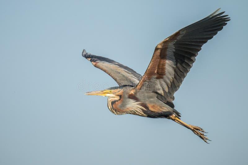 Purple Heron, Ardea purpurea. Ardea purpurea, Purple Heron. A large fishing bird royalty free stock photography