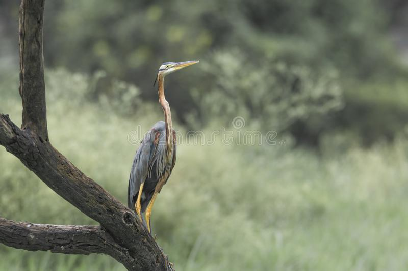 Purple Heron royalty free stock photography