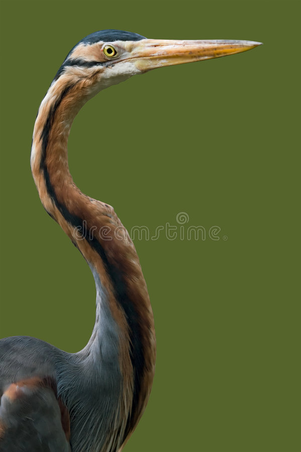 Purple heron close up isolated royalty free stock photos