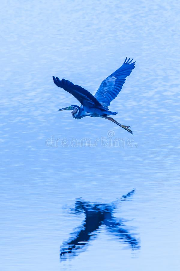 Purple heron in flight over blue lake at dusk, wetland in Thailand. Purple heron in flight over blue lake at dusk, serene tropical lake in Sam Roi Yot National royalty free stock photography
