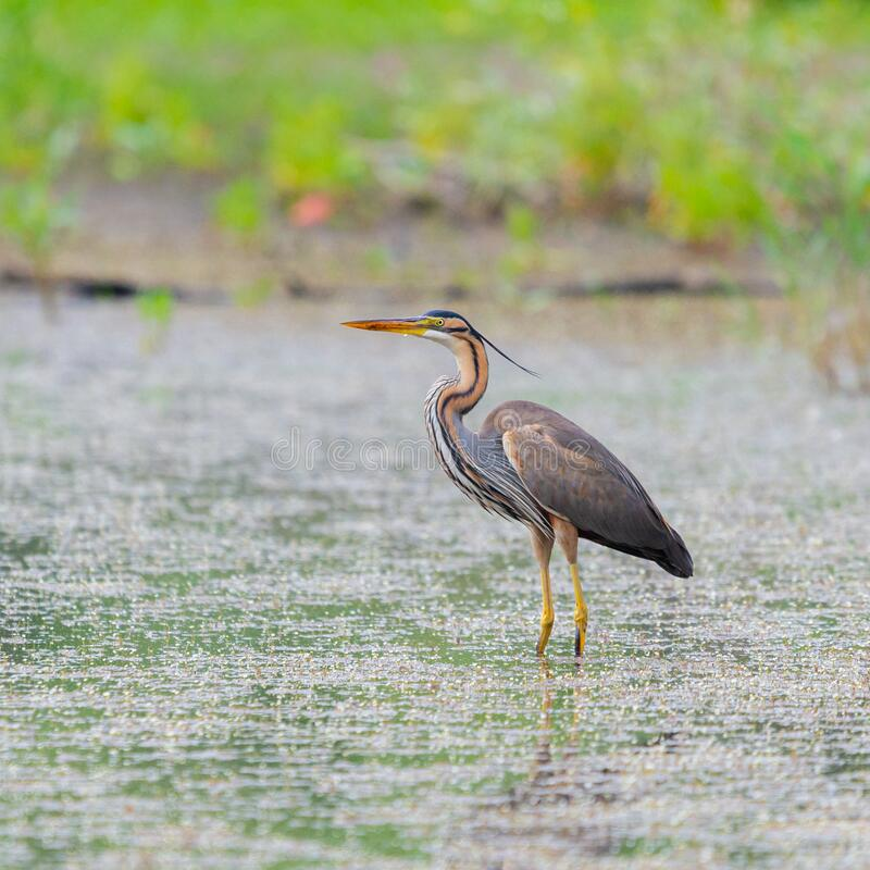 Free Purple Heron Or Ardea Purpurea Is Hunting In A Pond Or Lake Stock Photography - 192378142