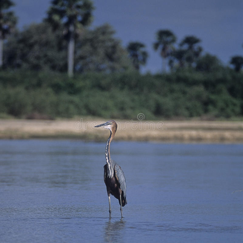 Purple Heron in Selous Game Reserve. Purple Heron on the Rufiji River in Selous Game Reserve stock photography