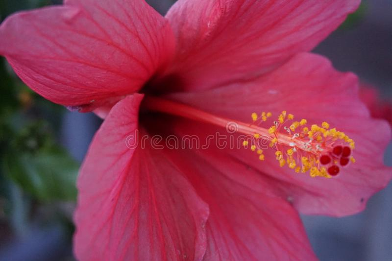 Purple hibiscus in close-up with Focus on the pollen stock images