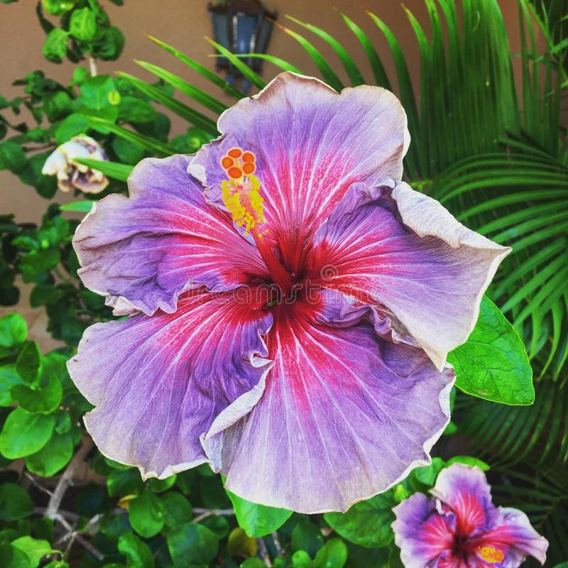 Purple Hibiscus on the Island of royalty free stock image