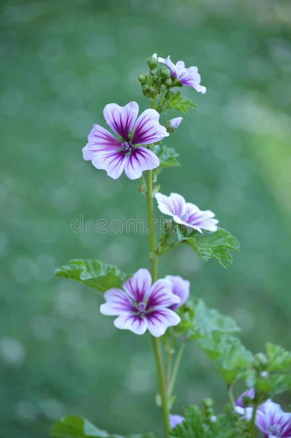 Purple hollyhock flower royalty free stock photography