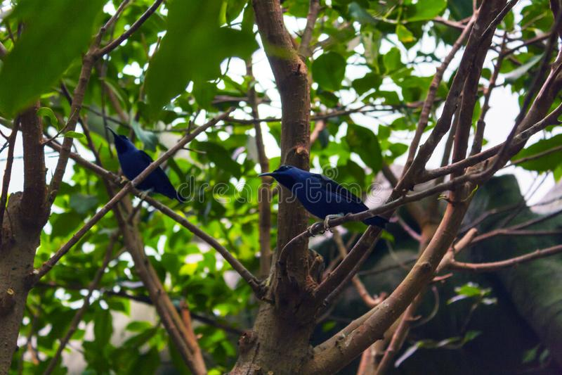 Purple honeycreeper sitting on a branch. In green leaves royalty free stock image
