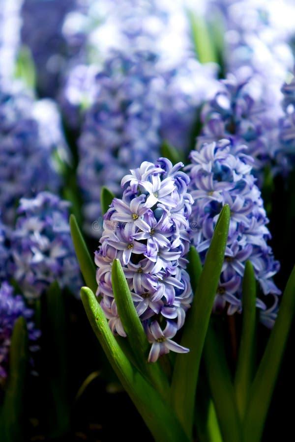 Free Purple Hyacinth Stock Image - 14660671
