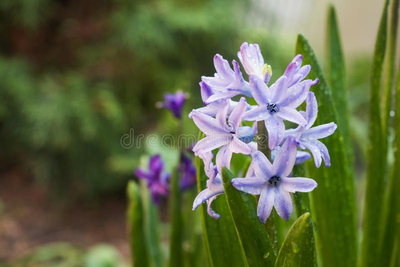 Purple hyacinth blooms in the garden. Selective focus.  royalty free stock photos