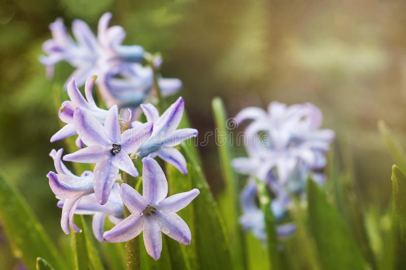 Purple hyacinth blooms in the garden. Selective focus.  stock photo