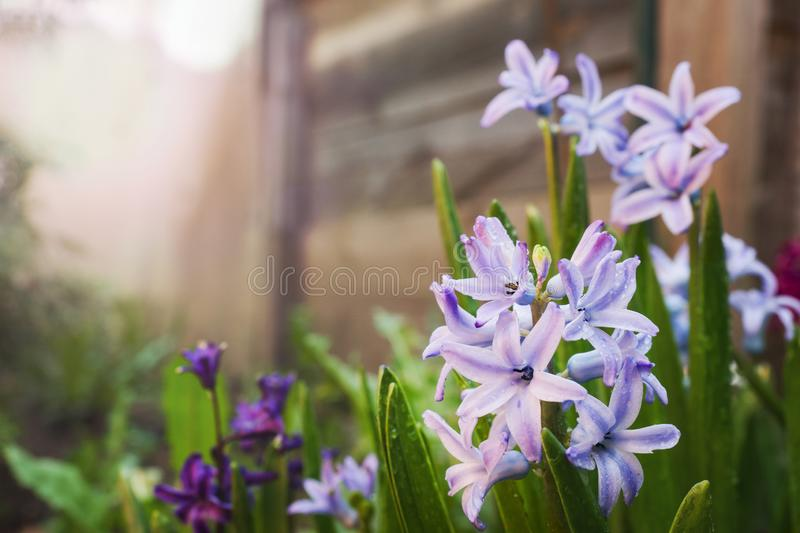 Purple hyacinth blooms in the garden. Selective focus.  stock image