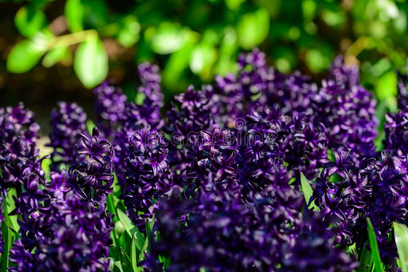 Purple hyacinth close up in Holland , spring time flowers in Keukenhof stock photos
