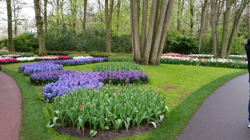 Purple Hyacinth, narcissus and late red Tulips Keukenhof Netherlands stock image