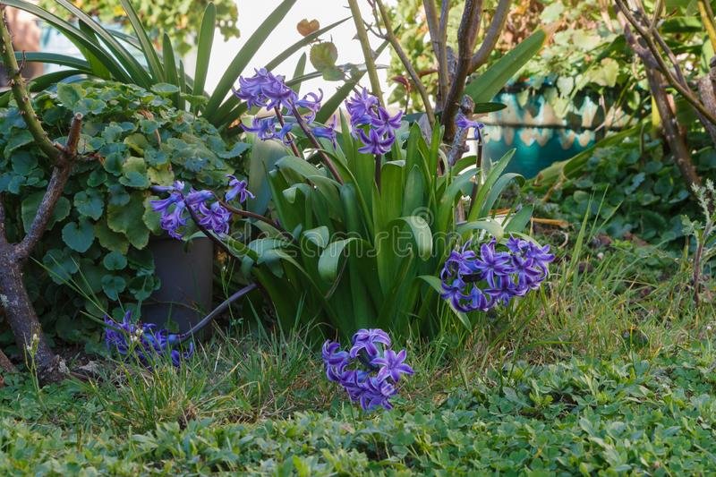 Hyacinth plant in a garden. Purple hyacinth plant in a garden during winter stock image