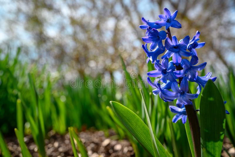 A purple hyacinth showing off its delicate blooms. A lonely   blooming in the sunshine. absorbing the sunshine on a bright day. bright, color, outside royalty free stock images