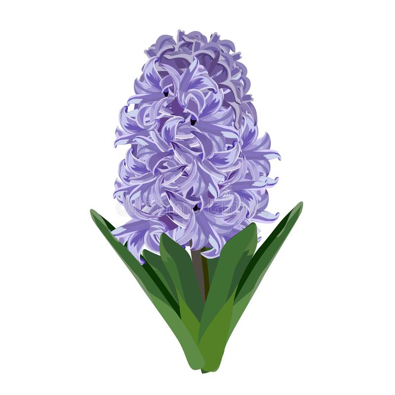 Free Purple Hyacinth. Vector Illustration. Royalty Free Stock Photo - 139145705