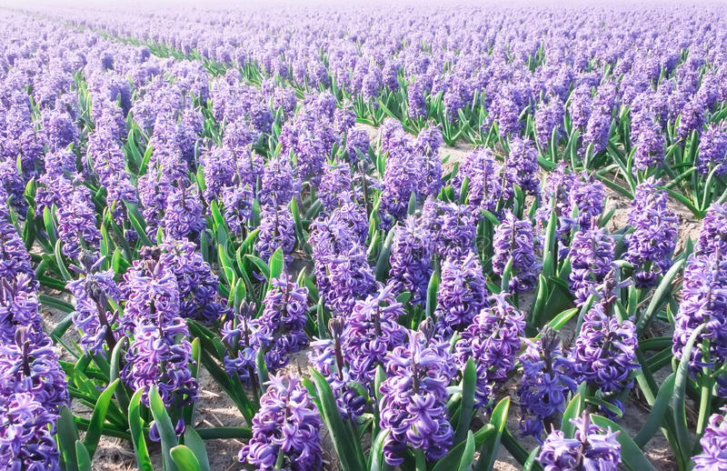 Purple Hyacinthe bulb field. Plantation of the Purple Hyacinthe bulbs field blooming under the cold sunny spring sun lights royalty free stock photography
