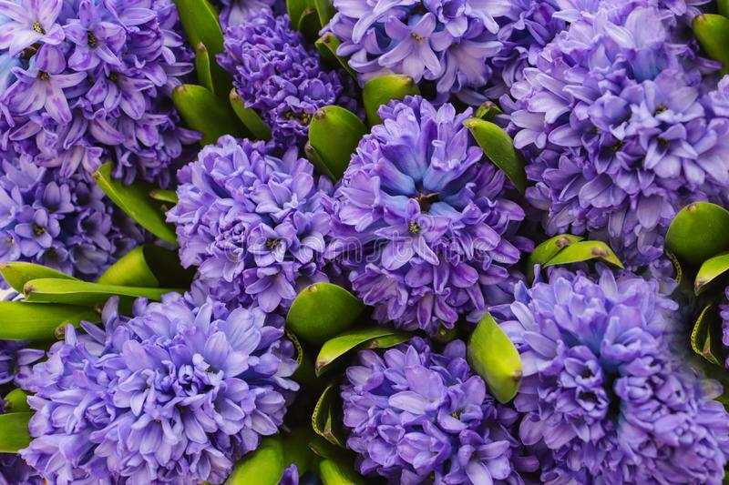 Purple hyacinths created from the birds perspective stock photo