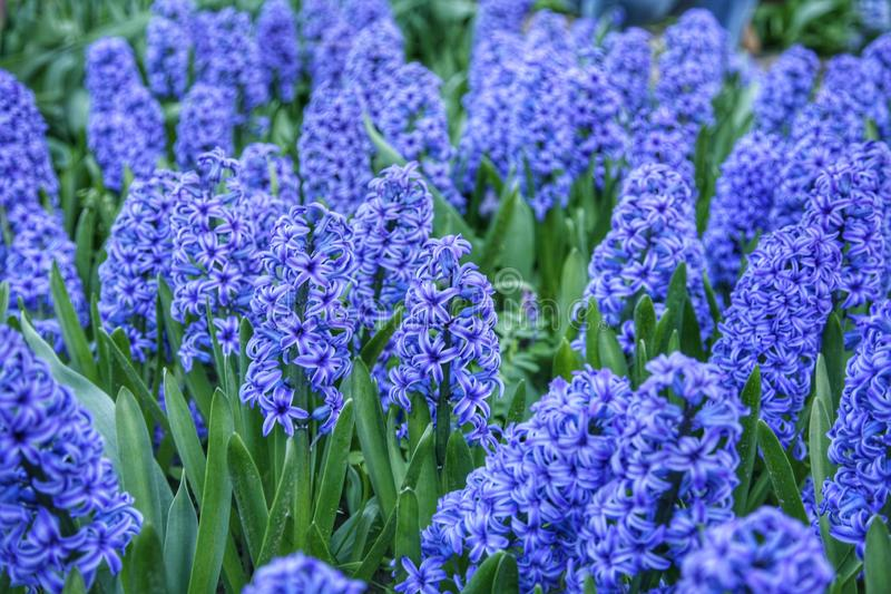Purple Hyacinths on garden. Field of hyacinths. royalty free stock photography