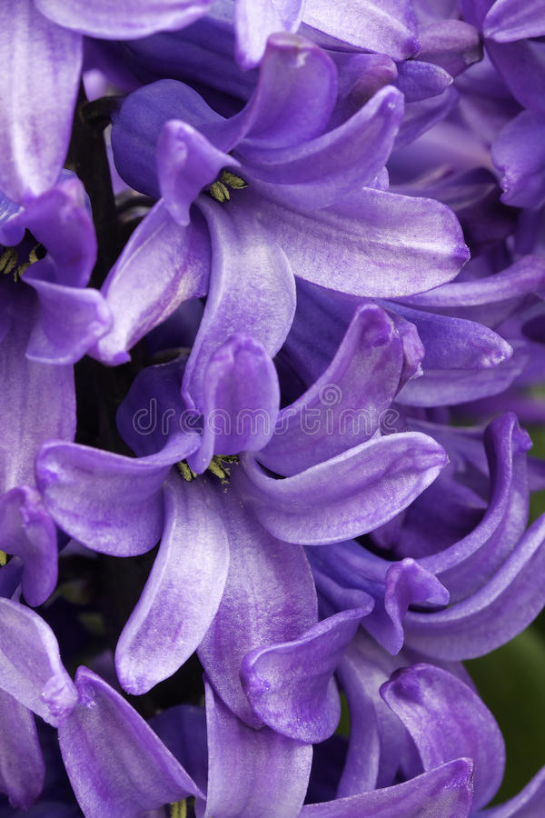 Purple hyacinths macro stock photography