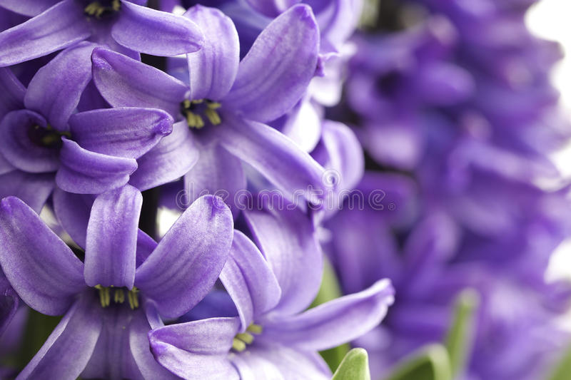 Purple hyacinths macro royalty free stock photos