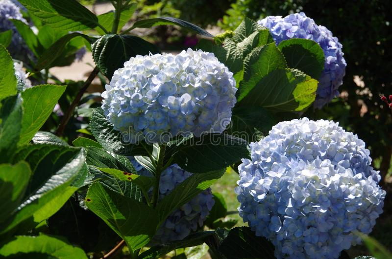 Purple hydrangea. ít`s blue and purple hydrangea, grow and somewhere in the tropics stock image